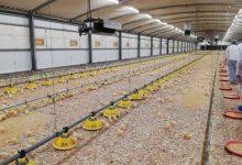 Madeira produz 50% do frango consumido na região-Milenio Stadium-Madeira