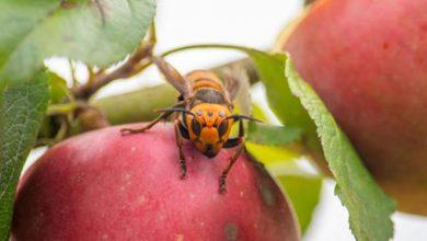85 live 'murder hornets' captured from tree near Canada-U.S. border-Milenio Stadium-Canada