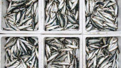 Pesca da sardinha proibida a partir de sábado-portugal-mileniostadium