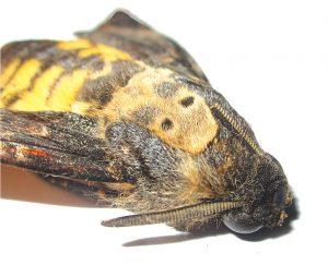 Borboleta-Caveira-europa-mileniosatdium
