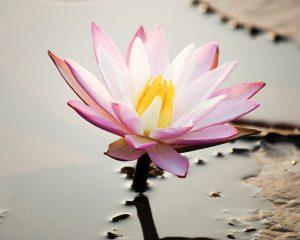 Seja como uma flor de lótus-canada-mileniostadium