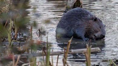 Flood-causing beavers must be 'eradicated,' says mayor-Milenio Stadium-Canada