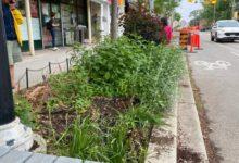 Volunteer gardeners walk away from Roncesvalles street gardens after conflict with local BIA-Milenio Stadium-Ontario