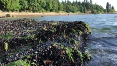 More than a billion seashore animals may have cooked to death in B.C. heat wave, says UBC researcher-Milenio Stadium-Canada