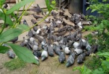 Pigeon feeding ban can't come soon enough for Toronto landlord stuck in 'horrifying' situation-Milenio Stadium-Ontario
