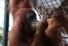 Toronto Zoo introduces mandatory COVID-19 vaccine policy for all visitors-Milenio Stadium-Canada